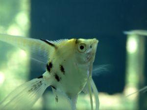 エンゼルフィッシュ 稚魚